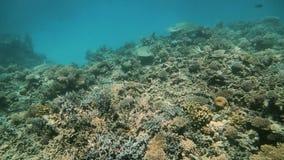 Arrecife de coral en el Mar Rojo Egipto Paisaje subacuático hermoso con los pescados y los corales tropicales Arrecife de coral d almacen de video