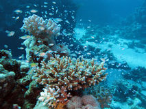 Arrecife de coral en la gran profundidad en el mar tropical Imágenes de archivo libres de regalías