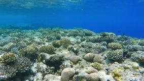Arrecife de coral, grupos coloridos de los pescados almacen de metraje de vídeo