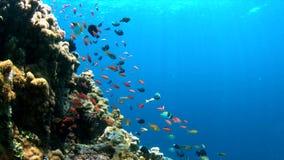 arrecife de coral 4k con Anthias y los Damselfishes