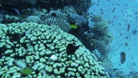 Arrecife de coral subacuático con los pescados tropicales almacen de video