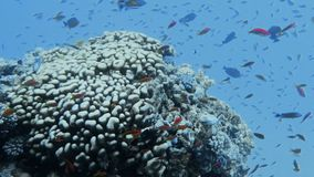Arrecife de coral subacuático con los pescados tropicales almacen de metraje de vídeo