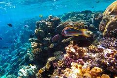 Arrecife de coral subacuático del Mar Rojo fotos de archivo