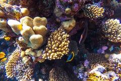 Arrecife de coral subacuático del Mar Rojo Imagen de archivo libre de regalías