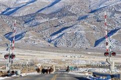 Arredondamento acima do gado Foto de Stock