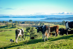 Arredores do lago Taupo com as vacas no primeiro plano Fotos de Stock