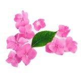 Arreglo creativo de flores rosadas en el fondo blanco Endecha plana Imagen de archivo libre de regalías
