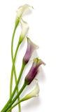 Flores: calas Foto de archivo