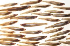 Arreglo de los pequeños pescados (eperlanos) 7 Foto de archivo libre de regalías