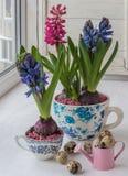 Arreglo de Pascua de jacintos en tazas del vintage Fotografía de archivo