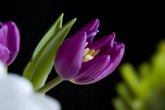 Arreglo del tulipán Fotografía de archivo