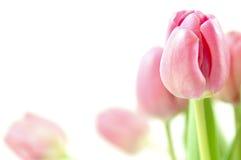 Arreglo del tulipán Imágenes de archivo libres de regalías