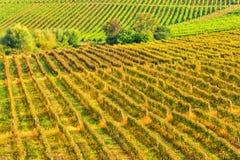 Arreglo soleado del viñedo en filas Imagen de archivo