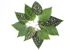 Arreglo verde fresco de la hoja para el aislante del fondo de la bandera en el fondo blanco Imagen de archivo libre de regalías