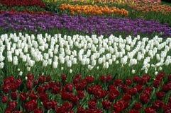 Arreglos del tulipán Imagen de archivo libre de regalías