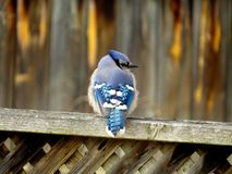 Arrendajo azul Fotografía de archivo