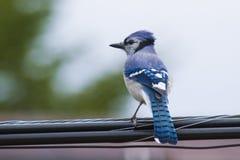 Arrendajo azul Imágenes de archivo libres de regalías