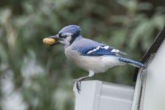 Arrendajo azul Fotos de archivo libres de regalías