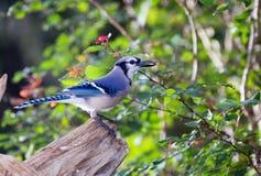 Arrendajo azul del patio trasero con la semilla de girasol Foto de archivo libre de regalías