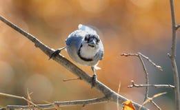 Arrendajo azul en naturaleza imagen de archivo