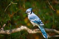 Arrendajo azul en sauce Fotografía de archivo libre de regalías