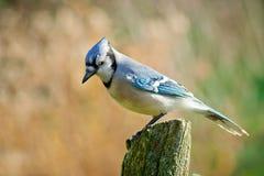 Arrendajo azul encaramado en posts del cedro Foto de archivo libre de regalías