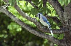 Arrendajo azul que se sienta en la rama de un ?rbol con el fondo verde borroso del follaje - primer imágenes de archivo libres de regalías