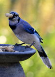 Arrendajo azul y el cacahuete Fotos de archivo libres de regalías