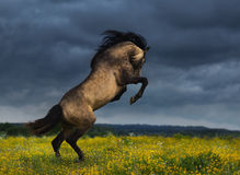 Arrière andalou de race de cheval sur le pré avec le croisement dramatique photo libre de droits