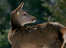 Arrière blanc deer1 Image libre de droits