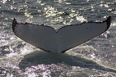 Arrière de baleine Photo libre de droits
