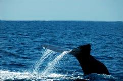 Arrière de baleine Photographie stock