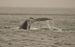 Arrière de baleine de bosse Photos libres de droits
