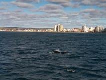 Arrière de baleine droite Photos stock