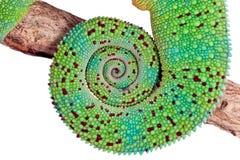 Arrière de caméléon de panthère Photo libre de droits