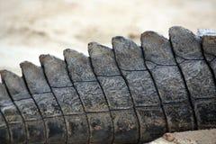 Arrière de crocodile Photo stock