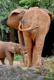 Arrière de forme de deux éléphants Image libre de droits