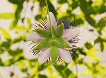 Arrière de Haze Passiflora pourpre Photos libres de droits