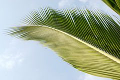 Arrière de lame de noix de coco Photographie stock