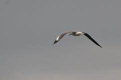 Arrière de vol de mouette - Naivasha (Kenya, Afrique) Image libre de droits