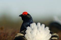 arrière Lyre-formé de grouse noire Image stock