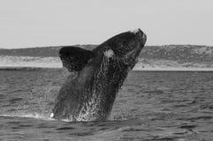 Arrière méridional de baleine droite photographie stock libre de droits