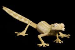 arrière rayé par lame de gecko image stock