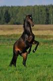 Arrières de cheval de compartiment dans le pré Images libres de droits