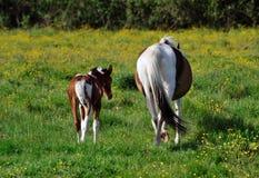 Arrières de deux chevaux ! Images libres de droits