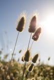 Arrières de lapin et épanouissement du soleil Images stock