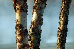 Arricciatura della corteccia di albero del sicomoro fotografia stock libera da diritti