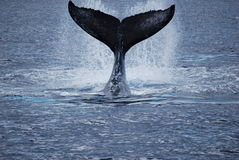 Arrière de baleine Photos stock