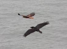 Arrière rouge et Raven Photo libre de droits