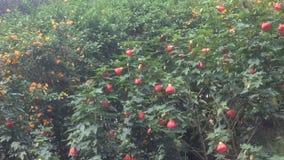 Arrivé aux buissons fleurissants pour alimenter le colibri, un représentant de faune américaine tropicale banque de vidéos